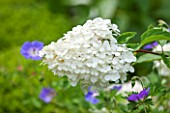 THE OLD BAKEHOUSE, SHERE, SURREY: CLOSE UP PLANT PORTRAIT OF WHITE FLOWER OF HYDRANGEA PANICULATA VANILLE FRAISE. SHRUB, FLOWERS