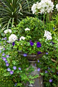 THE OLD BAKEHOUSE, SHERE, SURREY: METAL CONTAINER WITH BOX BALL, GERANIUM ROZANNE, BOX BALL AND WHITE AGAPANTHUS AFRICANUS ALBUS