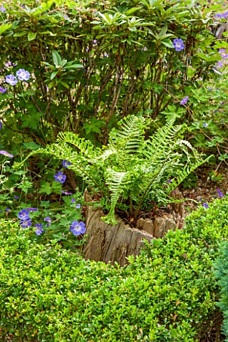 THE_OLD_BAKEHOUSE_SHERE_SURREY_SMALL_TOWN_GARDEN_FERN_GROWING_OUT_OF_TREE_TRUNK_BOX_HEDGING_HEDGE_GR