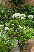 THE OLD BAKEHOUSE, SHERE, SURREY: SMALL TOWN GARDEN, METAL ONTAINER WITH BOX BALL, AGAPANTHUS AFRICANA ALBUS, GERANIUM ROZANNE, CRANESBILL, GREEN, FORMAL