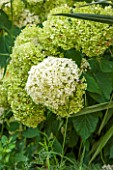 THE OLD BAKEHOUSE, SHERE, SURREY: CLOSE UP PLANT PORTRAIT OF WHITE, GREEN FLOWER OF HYDRANGEA ARBORESCENS ANNABELLE. SHRUB, FLOWERS