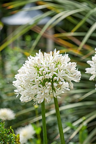 THE_OLD_BAKEHOUSE_SHERE_SURREY_CLOSE_UP_PLANT_PORTRAIT_OF_WHITE_FLOWER_OF_AGAPANTHUS_AFRICANUS_ALBUS