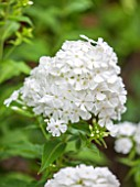 THE OLD BAKEHOUSE, SHERE, SURREY: CLOSE UP PLANT PORTRAIT OF WHITE FLOWER OF PHLOX, FLOWERS, PERENNIAL
