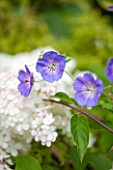 THE OLD BAKEHOUSE, SHERE, SURREY: CLOSE UP PLANT PORTRAIT OF BLUE FLOWERS OF GERANIUM ROZANNE, CRANESBILL, ALSO HYDRANGEA PANICULATA VANILLE FRAISE