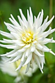 THE OLD BAKEHOUSE, SHERE, SURREY: CLOSE UP PLANT PORTRAIT OF THE WHITE FLOWER OF A DAHLIA