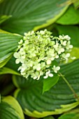 THE OLD BAKEHOUSE, SHERE, SURREY: CLOSE UP PLANT PORTRAIT OF GREEN, WHITE FLOWER OF HYDRANGEA PANICULATA LIMELIGHT. SHRUB, FLOWERS