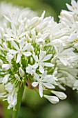THE OLD BAKEHOUSE, SHERE, SURREY: CLOSE UP PLANT PORTRAIT OF WHITE FLOWER OF AGAPANTHUS AFRICANUS ALBUS. SHRUB, FLOWERS