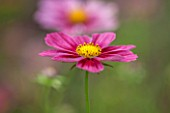 CLOSE UP PLANT PORTRAIT OF THE PINK FLOWER OF COSMOS BIPINNATUS ANTIQUITY. FLOWERS, PETAL, PETALS, FLOWERING, SEPTEMBER, ANNUAL