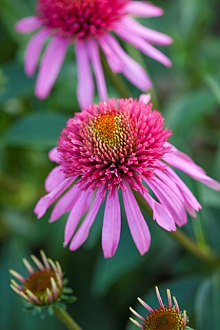 CLOSE_UP_PLANT_PORTRAIT_OF_THE_PINK_FLOWER_OF_ECHINACEA__DOUBLE_SCOOP_BUBBLEGUM___BALSCBLUM_FLOWERS_