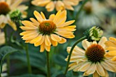 CLOSE UP PLANT PORTRAIT OF THE YELLOW FLOWER OF ECHINACEA ALOHA. FLOWERS, FLOWERING, SEPTEMBER, PERENNIAL, CONEFLOWER