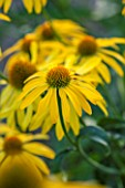 CLOSE UP PLANT PORTRAIT OF THE YELLOW FLOWER OF ECHINACEA SUMMER BREEZE. FLOWERS, FLOWERING, SEPTEMBER, PERENNIAL, CONEFLOWER