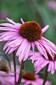 CLOSE UP PLANT PORTRAIT OF THE PINK FLOWER OF ECHINACEA PURPUREA AUGUSTKONIGIN. FLOWERS, FLOWERING, SEPTEMBER, PERENNIAL, CONEFLOWER