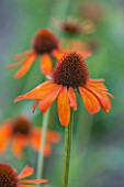 CLOSE UP PLANT PORTRAIT OF THE ORANGE FLOWER OF ECHINACEA TIKI TORCH - PETAL, PETALS, SEPTEMBER, CONEFLOWER, FLOWERING, PERENNIAL, PERENNIALS