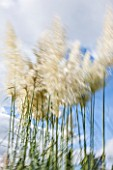 RHS GARDEN, WISLEY, SURREY: GRASSES MOVING IN THE WIND - SLOW EXPOSURE, SKY, MOVEMENT, TALL, SPIKES, SPIKEY, BLOWING, SUMMER, LATE SUMMER