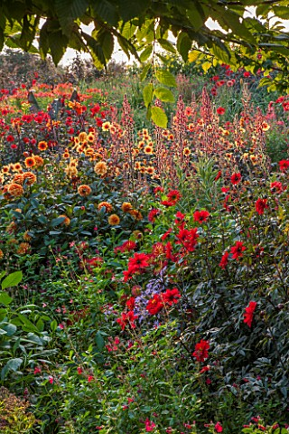 ASTON_POTTERY_OXFORDSHIRE_BANK_SLOPE_DAHLIA_DAVID_HOWARD_DAHLIA_BISHOP_OF_LLANDAFF_DAHLIA_MOONFIRE_L