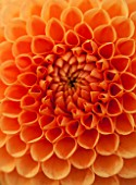 ASTON POTTERY, OXFORDSHIRE: CLOSE UP PLANT PORTRAIT OF THE ORANGE FLOWER OF DAHLIA HEXTON COPPER BALL. SUMMER, PERENNIALS, FLOWERING, POMPOMS