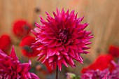 ASTON POTTERY, OXFORDSHIRE: CLOSE UP PLANT PORTRAIT OF THE PINK FLOWER OF DAHLIA NORBECK DUSKY. SUMMER, PERENNIALS, FLOWERING, CACTUS, SEMI