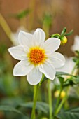 ASTON POTTERY, OXFORDSHIRE: CLOSE UP PLANT PORTRAIT OF THE WHITE FLOWER OF DAHLIA BRIDAL BOUQUET. SUMMER, PERENNIALS, FLOWERING