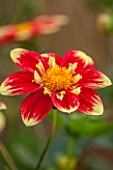 ASTON POTTERY, OXFORDSHIRE: CLOSE UP PLANT PORTRAIT OF THE RED, YELLOW FLOWER OF DAHLIA DANUM TORCH. SUMMER, PERENNIALS, FLOWERING, PETALS, STRIPED, PATTERNED