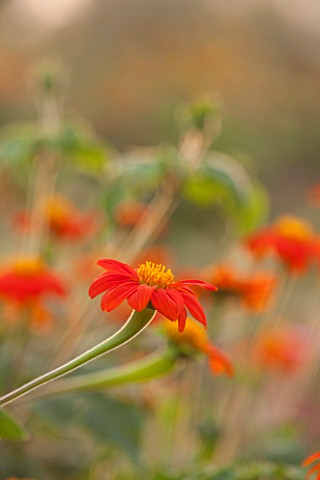ASTON_POTTERY_OXFORDSHIRE_CLOSE_UP_PLANT_PORTRAIT_OF_THE_ORANGE_FLOWERS_OF_TITHONIA_ROTUNDIFOLIA_FIE
