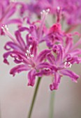 GUERNSEY NERINE FESTIVAL: CLOSE UP PLANT PORTRAIT OF THE PINK FLOWERS OF NERINE QUEST. BULB, FLOWERING, BULBOUS, GUERNSEY, LILY