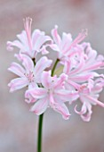 GUERNSEY NERINE FESTIVAL: CLOSE UP PLANT PORTRAIT OF THE PINK FLOWERS OF NERINE ALISON BROWN. BULB, FLOWERING, BULBOUS, GUERNSEY, LILY