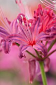 GUERNSEY NERINE FESTIVAL: CLOSE UP PLANT PORTRAIT OF THE PINK FLOWERS OF NERINE EDITH AMY. BULB, FLOWERING, BULBOUS, GUERNSEY, LILY