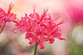 GUERNSEY NERINE FESTIVAL: CLOSE UP PLANT PORTRAIT OF THE PINK FLOWERS OF NERINE DAME ALICE GODMAN. BULB, FLOWERING, BULBOUS, GUERNSEY, LILY