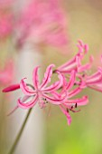 GUERNSEY NERINE FESTIVAL: CLOSE UP PLANT PORTRAIT OF THE PINK FLOWERS OF NERINE HUMILIS FROM DU TOITSKLOOF, SOUTH AFRICA. BULB, FLOWERING, BULBOUS, GUERNSEY, LILY