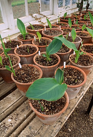POTS_OF_CANNAS_JUST_STARTING_TO_GROW_IN_THE_GREENHOUSE_OF_THE_LYGON_ARMS__GLOUCESTERSHIRE