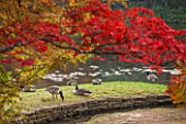 THE NATIONAL TRUST - SHEFFIELD PARK, SUSSEX. AUTUMN. OCTOBER, FALL. CANADA GEESE BESIDE LAKE. BIRD, BIRDS, GOOSE, WILDLIFE, WILD, ANIMAL