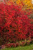 BORDE HILL GARDEN, WEST SUSSEX. AUTUMN. OCTOBER, FALL. EUONYMUS EUROPEUS RED CASCADE. SHRUB, RED, LEAVES, BERRIES, BERRY, SHRUBS, FRUIT, FRUITS