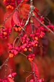 BORDE HILL GARDEN, WEST SUSSEX. AUTUMN. OCTOBER, FALL. EUONYMUS EUROPEUS RED CASCADE. SHRUB, RED, LEAVES, BERRIES, BERRY, SHRUBS, FRUIT, FRUITS, SPINDLE, SEED, POD