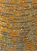BATSFORD ARBORETUM, GLOUCESTERSHIRE. AUTUMN. OCTOBER, FALL. BARK OF PRUNUS UKON - TRUNK, ABSTRACT, TREE, PATTERN, ABSTRACT, DECIDUOUS, TEXTURE