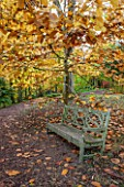 BATSFORD ARBORETUM, GLOUCESTERSHIRE. AUTUMN. OCTOBER, FALL. WOODEN BENCH / SEAT BENEATH MAGNOLIA DENUDATA. TREES, TREE, FOLIAGE, LEAVES, YULAN, LILY TREE