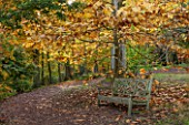 BATSFORD ARBORETUM, GLOUCESTERSHIRE. AUTUMN. OCTOBER, FALL. WOODEN BENCH / SEAT BENEATH MAGNOLIA DENUDATA. TREES, TREE, FOLIAGE, LEAVES, YULAN, LILY TREE, PATH