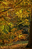 BATSFORD ARBORETUM, GLOUCESTERSHIRE. AUTUMN. OCTOBER, FALL. BEECH TREES IN THE WOODLAND. LEAVES, FOLIAGE, GOLDEN, AFTERNOON LIGHT