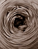 BLACK AND WHITE SEPIA TONE IMAGE OF CLOSE UP OF CENTRE OF RANUNCULUS FLOWER. ABSTRACT, PATTERN, NATURE