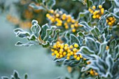 HIGHFIELD HOLLIES, HAMPSHIRE: WINTER - CHRISTMAS - CLOSE UP PLANT PORTRAIT OF YELLOW BERRIES OF HOLLY - ILEX AQUIFOLIUM BACCIFLAVA , SHRUB, BERRY, FROST, WINTER, DECEMBER