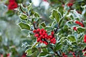 HIGHFIELD HOLLIES, HAMPSHIRE: WINTER, CHRISTMAS, CLOSE UP PLANT PORTRAIT OF RED BERRIES OF HOLLY - ILEX AQUIFOLIUM, SHRUB, BERRY, FROST, DECEMBER, NATIVE