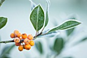 HIGHFIELD HOLLIES, HAMPSHIRE: WINTER, CHRISTMAS, CLOSE UP PLANT PORTRAIT OF ORANGE BERRIES OF HOLLY - ILEX AQUIFOLIUM AMBER , SHRUB, BERRY, FROST, WINTER, DECEMBER, EVERGREEN