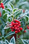 HIGHFIELD HOLLIES, HAMPSHIRE: WINTER, CHRISTMAS, CLOSE UP PLANT PORTRAIT OF RED BERRIES OF HOLLY - ILEX AQUIFOLIUM, SHRUB, BERRY, FROST, WINTER, DECEMBER, EVERGREEN, NATIVE, SPIKY