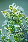 HIGHFIELD HOLLIES, HAMPSHIRE: WINTER, CHRISTMAS, CLOSE UP PLANT PORTRAIT OF SPIKEY LEAVES OF HOLLY - ILEX, AQUIFOLIUM FLAVESCENS, FOLIAGE, GREEN, FROST, FROSTY, SPIKES, PRICKLY