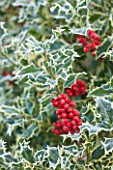 HIGHFIELD HOLLIES, HAMPSHIRE: CLOSE UP PLANT PORTRAIT OF RED BERRIES OF HOLLY - ILEX AQUIFOLIUM ARGENTEA MARGINATA, SHRUB, BERRY, FROST, WINTER, DECEMBER, PRICKLY, SPIKY