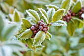 HIGHFIELD HOLLIES, HAMPSHIRE: CLOSE UP PLANT PORTRAIT OF RED, ORANGE, BERRIES OF HOLLY - ILEX MARY NELL, SHRUB, BERRY, FROST, WINTER, DECEMBER, PRICKLY, SPIKY