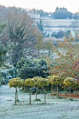 HIGHFIELD HOLLIES, HAMPSHIRE: CHRISTMAS - HOLLIES IN THE NURSERY DUSTED WITH FROST. ILEX AQUIFOLIUM GOLDEN VAN TOL, WINTER, DECEMBER, EVERGREENS, HOLLY, SHRUB, ENGLISH, GARDEN