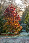 HIGHFIELD HOLLIES, HAMPSHIRE: WINTER - CHRISTMAS -  BRILLIANT AUTUMNAL RED FOLIAGE OF LIQUIDAMBAR STRACIFLUA AURORA IN FROST. TREE, WINTER, DECEMBER, FOLAIGE, LEAVES