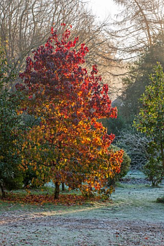 HIGHFIELD_HOLLIES_HAMPSHIRE_WINTER__CHRISTMAS___BRILLIANT_AUTUMNAL_RED_FOLIAGE_OF_LIQUIDAMBAR_STRACI