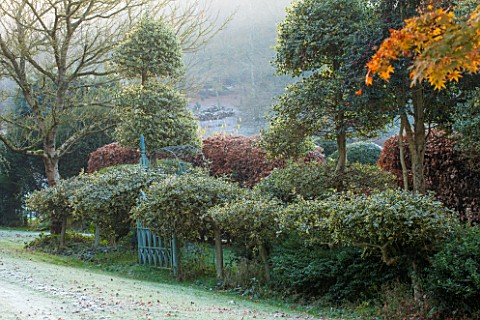 HIGHFIELD_HOLLIES_HAMPSHIRE_CHRISTMAS__LOUISES_GARDEN__BLUE_METAL_GATE_CLIPPED_TOPIARY_HOLLY_ILEX_AR