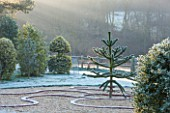 HIGHFIELD HOLLIES, HAMPSHIRE: MEDUSA GARDEN - CIRCLE WITH MONKEY PUZZLE TREE - ARAUCARIA ARAUCANA, CONIFER, GREEN, DECEMBER, WINTER, FROST, EVERGREEN, ILEX, GOLDEN, KING